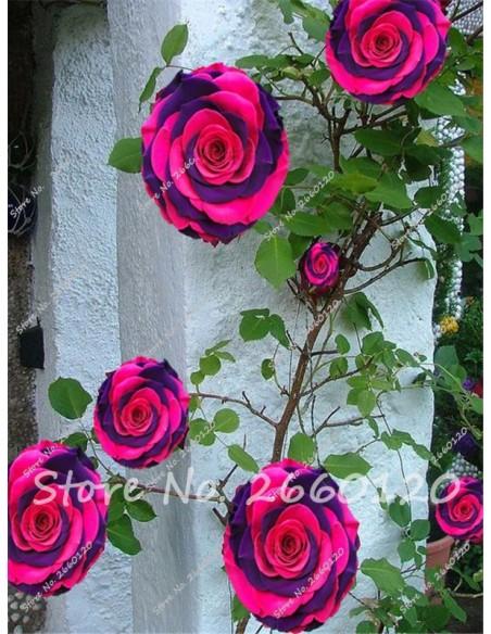 Graines de Rose