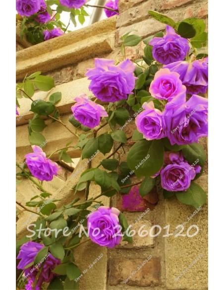 Semillas de rosas