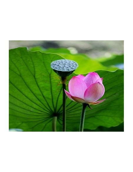 Semillas de loto