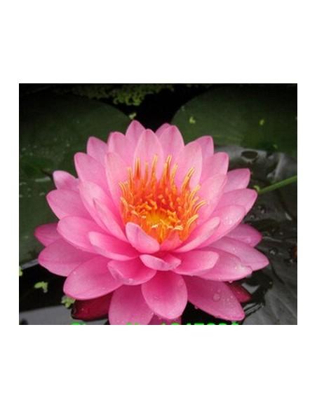 Graines de Lotus