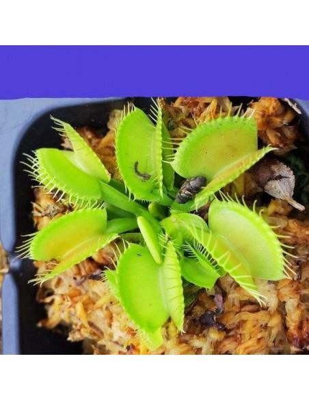 Venus Flytrap Graines de plantes carnivores.